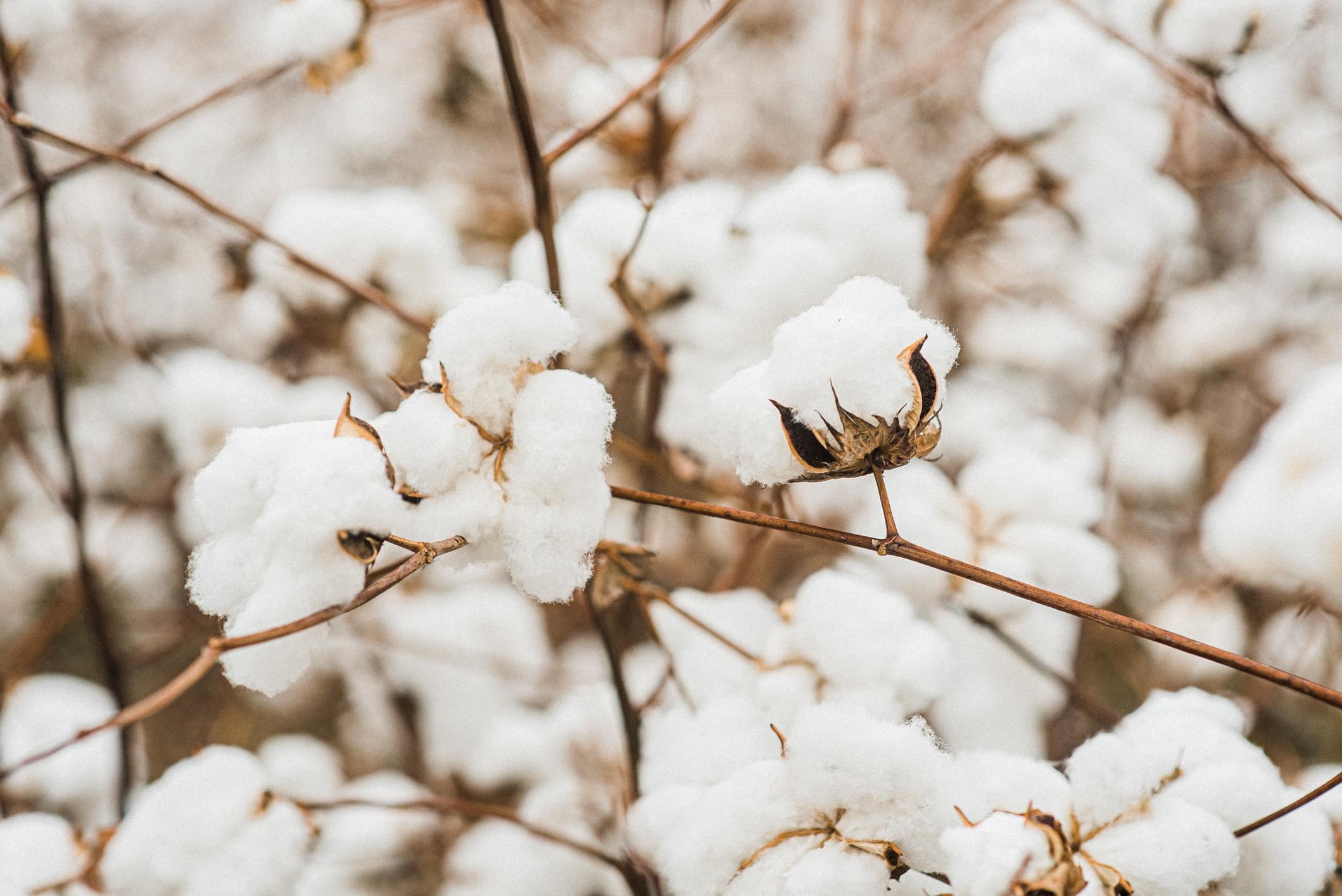 Open Cotton Bolls in Field
